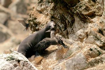 Sea lion hunts a Peruvian booby bird on the rocks of the Ballestas Islands (Paracas, Peru)