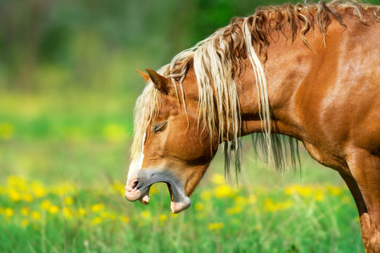 Red draft horse portrait yawning