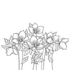 Vector bouquet with outline Hellebore or Helleborus or Winter or Lenten rose, bud and leaves in black isolated on white background. Ornate flower bunch in contour for spring design or coloring book.