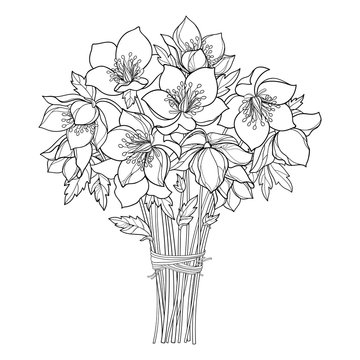 Vector bouquet with outline Hellebore or Helleborus or Winter or Lenten rose, bud and leaf in black isolated on white background. Ornate flower bunch in contour for spring design or coloring book.