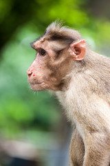 closeup picture of a white monkey looking at the front with a blurred background