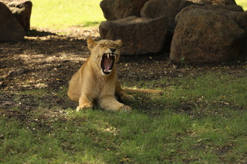 Lioness yawns resting on the grass under a tree