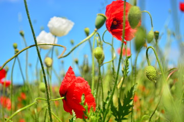 poppies on background of blue sky