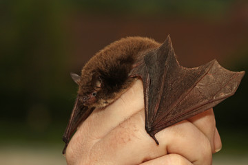Daubentons bat held in a hand. A close up picture of a rare nocturnal mammal in a human care.  Wall mural