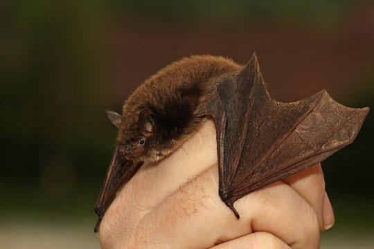 Daubentons bat held in a hand. A close up picture of a rare nocturnal mammal in a human care.