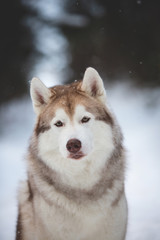 Cute and happy Siberian Husky dog sitting on the snow in the forest in winter