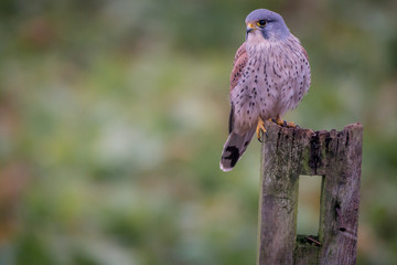 Fototapete - Wild Perched UK Male Kestrel
