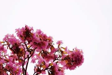 pink flower with branch isolated white background