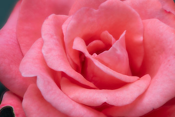Rose mit Büte