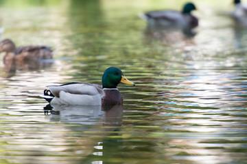 Enten im Teich