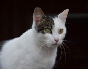 Portrait of a house cat, bi colored.