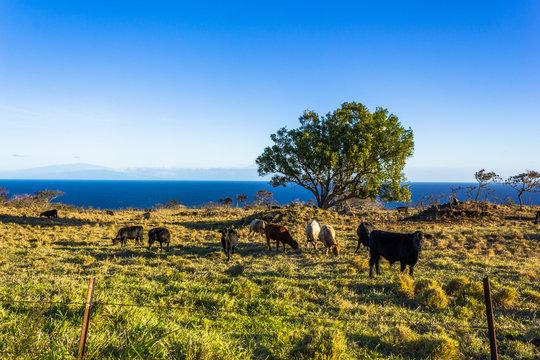 wunderschöne Rinderfarm am Meer auf Hawaii, Oahu
