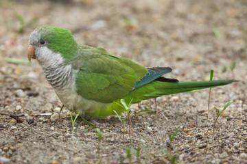 Fototapete - Monk parakeet (Myiopsitta monachus)