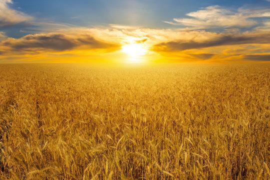 summer golden wheat field at the sunset