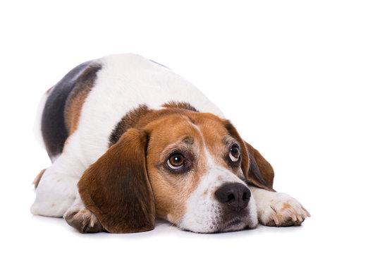 Tired beagle dog lying on back isolated on white background