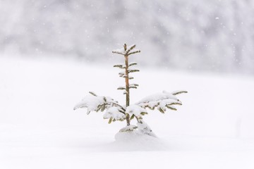 Fir tree covered with snow. Small conifer tree.