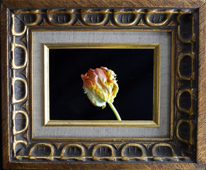 Fine arts tulip in gold frame