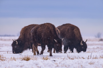Buffalo in Snow. American Bison on the High Plains of Colorado