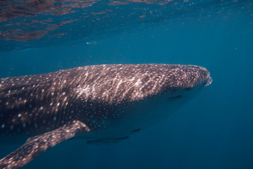 Swimming with Whale Sharks, a young male Whaleshark at Ningaloo Reef, Western Australia