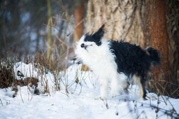 Funny black and white chinese crested dog shaking off snow in a winter sunny day