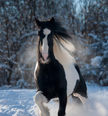 black and white paint irish cob or tinker runs free in winter meadow portrait