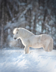 snowy white cute fluffy pony portrait closeup with winter background behind