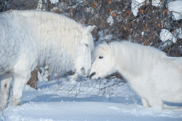 two white horses kissing in winter background