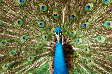 Peackock with open feathers clouse up . Pavo real con plumaje extendido en plano corto.