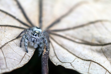 Hyllus diardi  ,jumping spiders in the garden Wall mural
