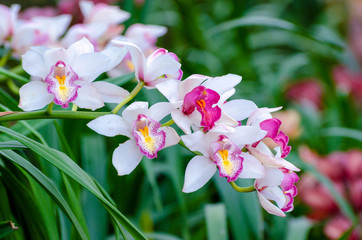 Wall Mural - cymbidium sp Pink and white orchid flowers