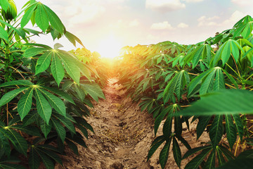 cassava tree in farm and sunset Wall mural