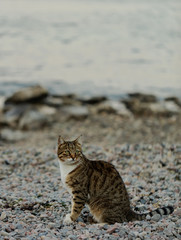 Funny grey cat on the beach against the sea.