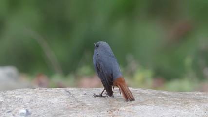 Fotoväggar - Plumbeous redstart, Rhyacornis fuliginosa, Single male on rock, Taiwan, January 2019