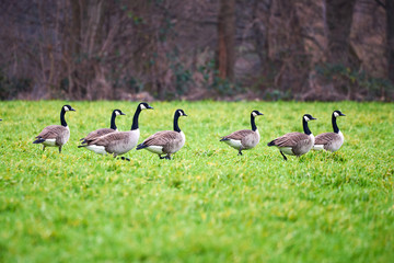 Canada Geese In The Grass (Branta Canadensis)