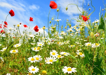 field of flowers and blue sky