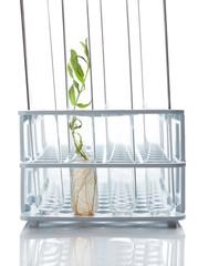 Tube holder ant plant in-vitro