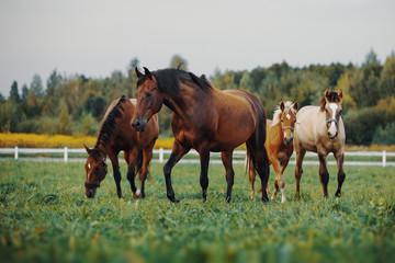Fototapeta Horses in the herd