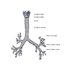 Trachea isolated flat vector illustration