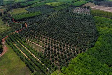 Aerial view palm oil plantation tree field