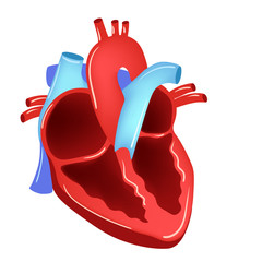 Vector illustration of Heart - Part of Human Organic.