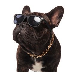 Fototapeten Französisch bulldog head of curious french bulldog wearing sunglasses and collar