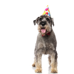 gentleman schnauzer wearing birthday hat pants while standing