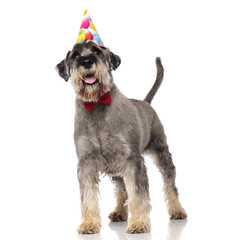adorable schnauzer wearing red bowtie and birthday hat standing
