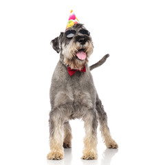funny birthday schnauzer wearing sunglasses and bowtie panting