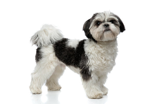 side view of cute and small shih tzu standing