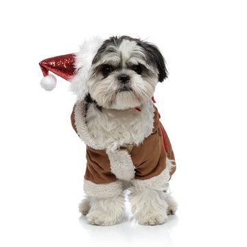 adorable santa shih tzu wearing warm winter costume standing