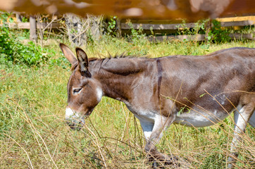 Brown donkey in the pen