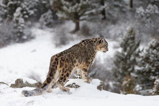 Rare, endangered, elusive Snow Leopard in cold winter snow scene