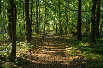 Path through a green deciduous forest