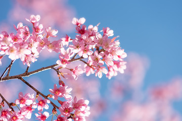 Pink cherry blossom with blue sky, beautiful flowers in spring season